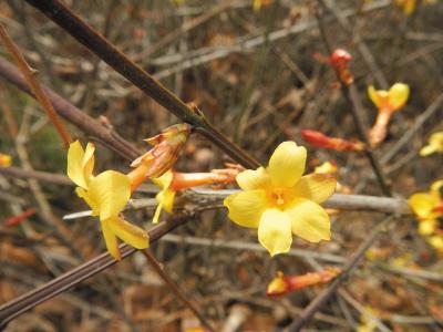 春天来了,很多植物都已经开始努力伸展自己,有些枝条已经泛起绿意。有的植物等不及已经开花啦,迎春花就是个着急的主儿。正是因为它开花后就会迎来百花齐放的春天而得名。迎春花是典型的早春植物,花单生在去年生的枝条上,先于叶开放,有清香,金黄色,迎春花株高30~100厘米。小枝细长直立或拱形下垂。3小叶复叶交互对生,叶卵形至矩圆形。