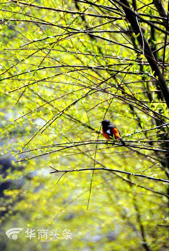 陕北位于黄土高原,相对于陕西其他地区,地势略高,又偏北,所以春色总是来的较晚一些。阳历进入四月,延安的气温最高时已经达到20℃以上了,人们脱掉了臃肿的冬装,终于可以轻松上阵了。 华商记者 贺秋平(摄)