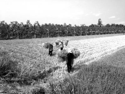 3月29日,在越南槟�惺¢糯枷仄匠窍纾�当地农民把枯死的稻草运回家用作喂牛饲料。2015年年底以来,受强厄尔尼诺现象影响,越南南部湄公河三角洲遭遇百年一遇的旱情。近期,旱情与海水入侵进一步发展。应越南方面请求,中国自3月15日至4月10日通过云南景洪水电站对湄公河下游实施应急补水,预计补水将于4月4日到达越南。 新华社发