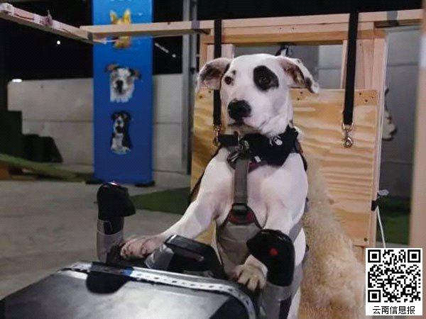 过去的1年多里,英国Sky电视台一直在拍一档新的电视节目,整个节目的主题也很新颖大胆:实验!汪星人到底能不能学会开飞机!节目名字也很应景,Dogs Might Fly(也许汪星人也会飞)。结果,汪星人真的上天了!