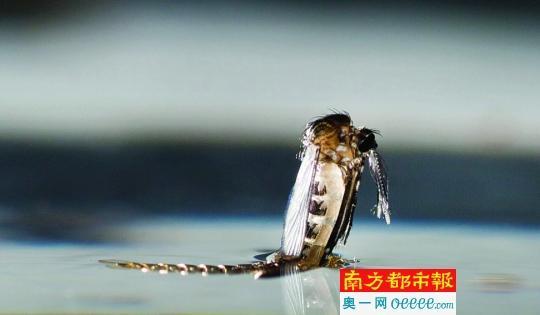 45倍的显微镜下,白纹伊蚊蛹的头部特写。