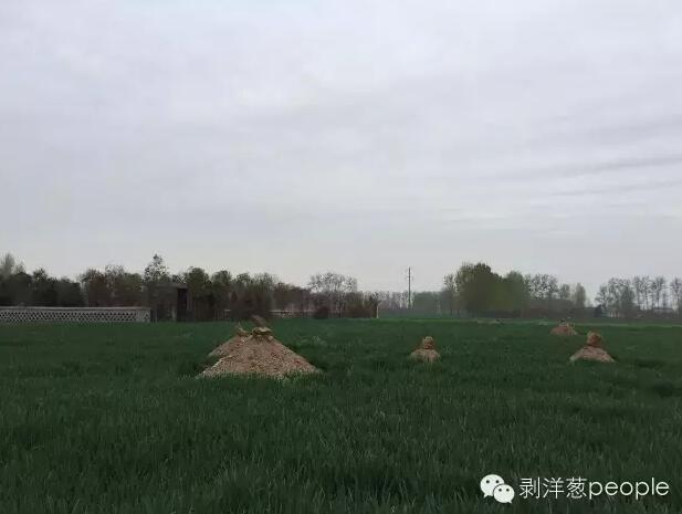朱集村双龙湾义冢外面的麦地里,曾经从新立起了十多座坟头。