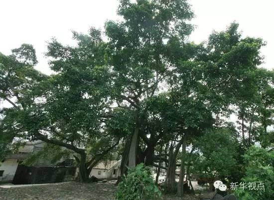 2.油松:枝叶繁茂,挺拔苍劲,适应性强,寿命可达千年以上,老年树冠常成伞形,雄伟古雅。总书记在北京参加义务植树时种植。
