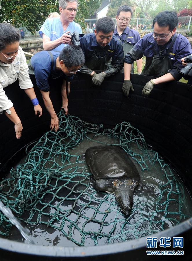 4月7日,中外植物教授和养殖员将姑苏植物园水池内的斑鳖安顿登陆。