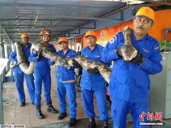 4月11日音讯,克日,马来西亚槟榔屿,修建工人和民防职员在一处修建工地左近发觉一只巨蟒。其长约7.5米,重约500斤。