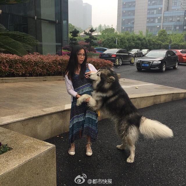 杭州一网友爆料,一只疑似走丢的阿拉斯加在大街上缠上了一个路过的妹子,搂、抱、扑、扯、拉,你这么大个,妹子也是很无奈啊,最后狗狗暂时被城管接走了。