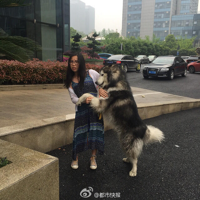 """当时,这条阿拉斯加犬正安静地趴在办公大楼的门厅台阶处,周围一圈围着好多人。狗狗的体型比较大,身长大约有1米多,毛色黑白相间。""""狗狗颈部带着颈圈,身上很干净。"""",城管判断,这是一条走失犬。"""