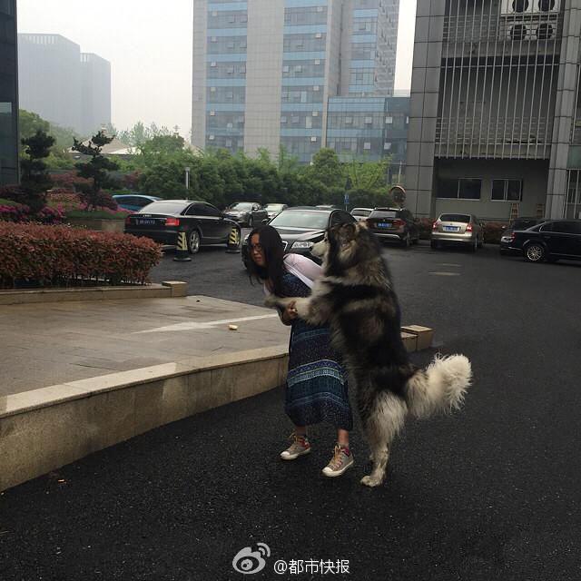 女孩走到哪里,这条阿拉斯加犬就跟到哪里,还做出各种亲昵动作。