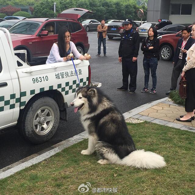 目前这条阿拉斯加犬的狗主人已经找到了,是一位澳大利亚国籍的华裔,20多岁,是位年轻的姑娘。狗狗没有办理过犬证,狗主人按照相关条例,需要缴纳罚款。