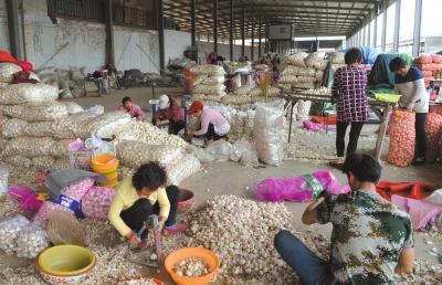 4月13日,在河南省中牟县的一个大型蔬菜零售商场,蒜商在分拣大蒜,零价格钱每斤5元-6元不等。新华社发