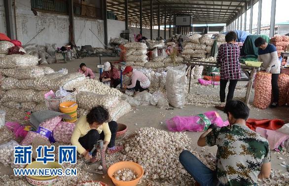 4月13日,在河南省中牟县的一个大型蔬菜批发市场,蒜商在分拣大蒜,批发价格每斤5元-6元不等。新华社记者赵鹏摄
