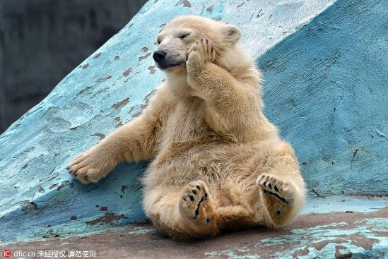 俄罗斯小北极熊爱做瑜伽