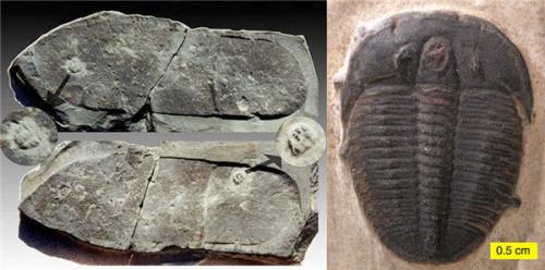 """1968年,一名化石爱好者在美国犹他州羚羊泉发现一块5亿年的石板上,居然有一个现代人的""""鞋印""""踩在两只三叶虫上。而三叶虫是古生代的海生节肢动物,生于寒武纪,灭绝于二叠纪,就连恐龙都不曾见过其真容。不少神创论者,都将""""脚印""""标本视作对进化论和传统地质学的严峻挑战。"""