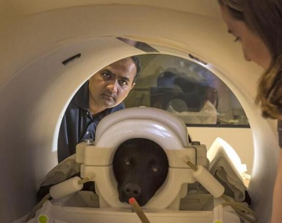 图:研究人员对14只狗进行功能磁共振成像,以检测嗅觉部位的活动是否传入大脑。据英国《每日邮报》官网4月20日报道,美国奥本大学研究发现,纳米锌粒子可以提高狗类脑部嗅觉感受区域活动,增强嗅觉能力。这一发现也可能用于提高人类的嗅觉能力。报道称,狗大概是动物界嗅觉最灵敏的动物了,他们可以嗅出行李箱中的爆炸物或毒品,甚至能从一个人的呼吸中闻到癌症的味道。