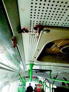 """楚天都市报讯 楚天都市报讯 (记者姚德春)昨日,一组反映武汉413路公汽车厢顶部长出蘑菇的照片,在网上疯传。无独有偶,市民曹女士反映,她乘坐719路双层巴士时,在车厢座位底下也看见了成片的蘑菇,并戏称""""公交车内养分充足""""。"""