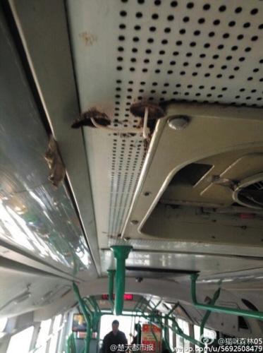 22日,一组反映武汉413路公汽车厢顶部长出蘑菇的照片,在网上疯传。