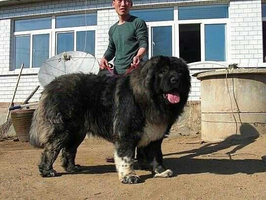 巨型高加索猎狼犬囹�a_资料图:高加索巨型犬.