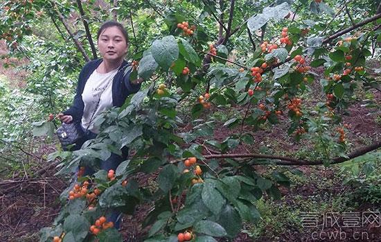 满枝 关于/一、樱桃品种介绍及图片...