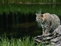 野性追踪者 雪豹迷踪