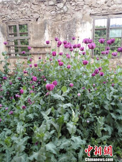 湖北大悟县三里镇一所废弃小学的教室内,民警发现一大片毒品原植物罂粟花。 钟欣 摄