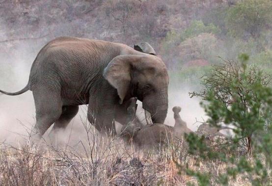 暴躁大象发狂乱撞牛妈妈为护犊竟被活活踩死!