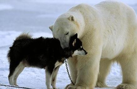 """罕见兔子抓拍:北极熊与爱斯基摩狗""""一见如故""""场景捡金子的游戏图片"""