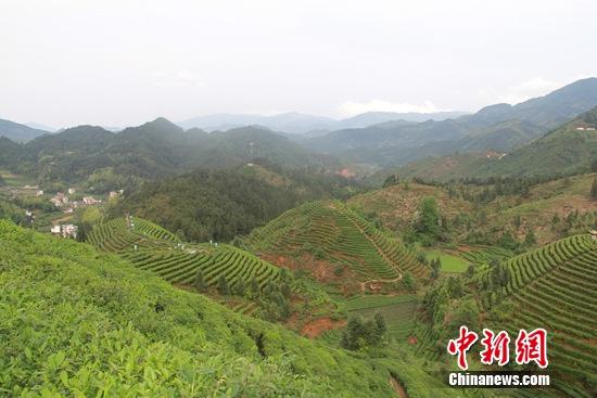 江西农行支持的特色农业――遂川狗牯脑茶产区图