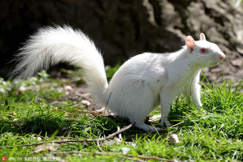 英国公园现稀有白化松鼠 呈现几率十万分之一
