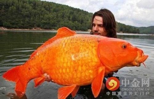 """據《每日郵報》報道,這看起來像是一個無與倫比的獎勵,并且世界上沒有哪個魚缸可以盛的下如此巨大的金魚。報道稱,一名法國男子日前在南部湖泊捕獲了一條重達30英磅(約合27斤)的金魚,它的體重甚至接近于3歲大的女孩,創造了有史以來該物種最大捕獲記錄。據悉,拉斐爾足足花了10分鐘的時間才將這條巨型金魚制服。這位來自蒙彼利埃的30歲男子過去6年一直在尋求他心目中的""""超大金魚""""。(5月9日中金網)"""