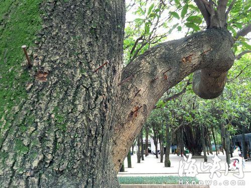 很多市民跳广场舞时,把杂物缀满大树