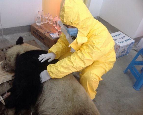 台湾媒体5月16日报导,台北市当局公关组于昨天9点50分正式宣告,台北市立植物园圈养的大熊猫团团今朝已确诊发作犬瘟热殒命。