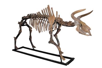 家牛的祖先——原始牛(图)