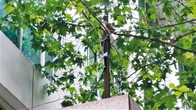 灰喜鹊幼鸟停在一根电线上 记者 张雷 摄