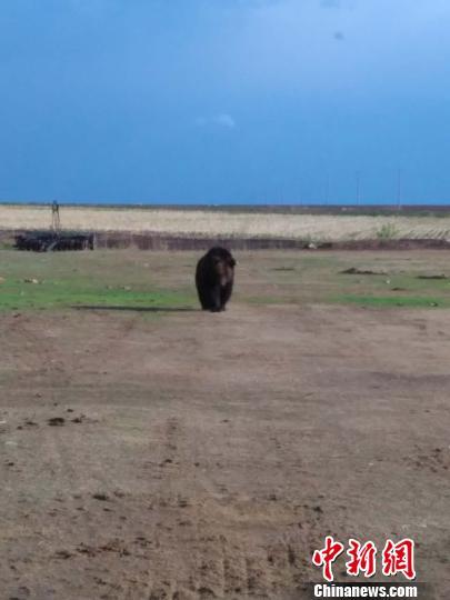 黑龙江饶河再现黑熊踪迹 相关部门对其跟随监视 谢文龙 摄