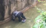 男童翻进栏杆 大猩猩遭射杀