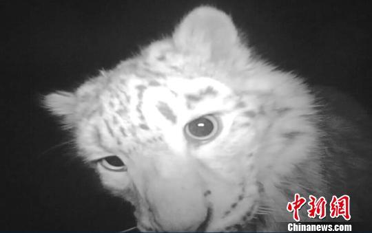 新疆官方植物爱护安排荒原新疆自愿者团队知道到,经过在乌鲁木齐周边布设100余台红皮毛机,历经两个夏季的记载,该团队拍照到20余只雪豹个别,通细致心分析识别,其分属相同家庭。 荒原新疆自愿者团队供图 摄