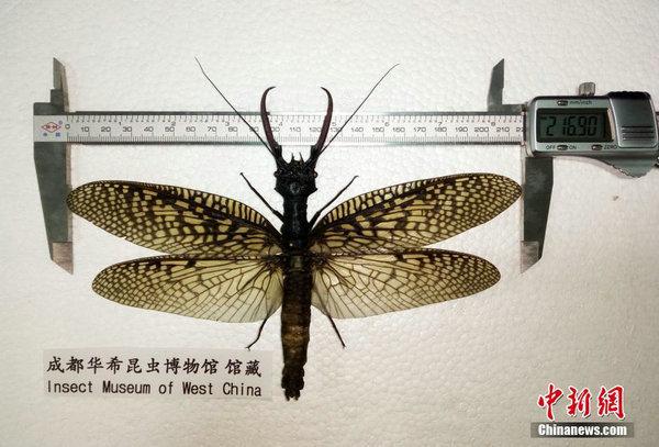 原文配图:越中巨齿蛉世界纪录样本个体。