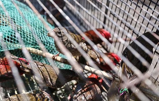 警方在景星花鸟商场查获的家养鸟类 都会时报 记者张玉杰/摄