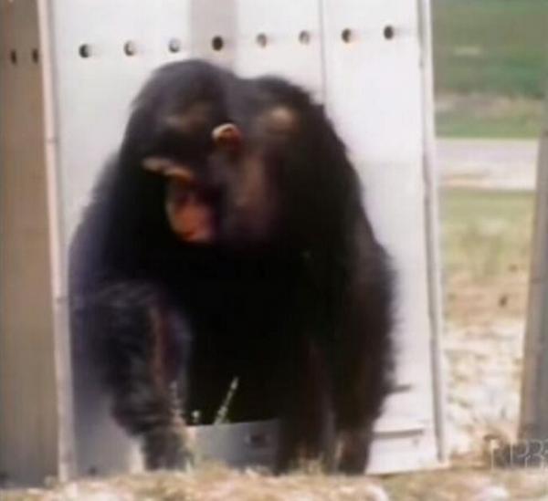 战战兢兢走出笼子的黑猩猩