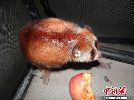 图为被解救的倭蜂猴。 本文图片均来自 中新网
