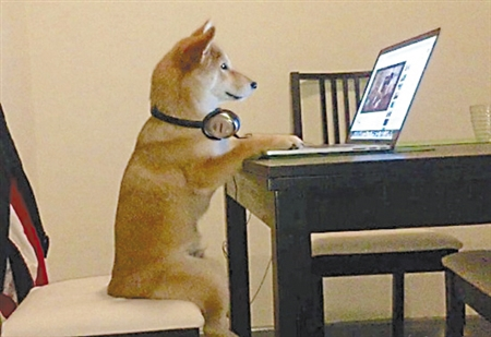 最近网上有只特别火的宠物狗,它有一大爱好——看电视和电脑视频。这只叫奇科的柴犬7个月大,不仅喜欢看电视,而且还喜欢端正地坐在板凳上看。据狗主人介绍,奇科第一天被领回家,就开始和主人一起看电视。当主人出门时,会特地把电视、电脑开着,让沉迷于此的奇科尽情观看。