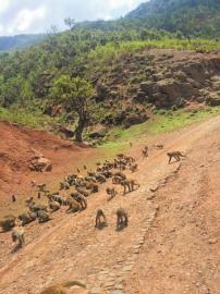 六月六日,被赶开的猴群再次下山。