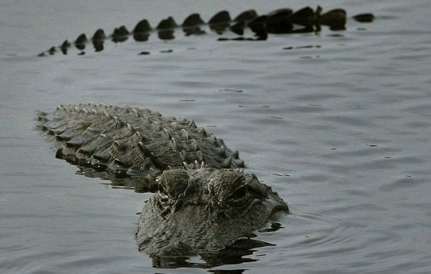 佛罗里达鳄鱼 材料图