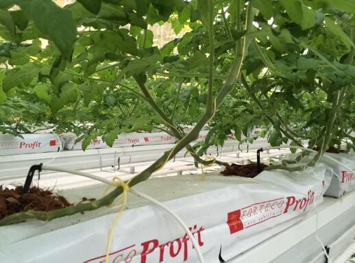 正是采用了椰糠基质,欧荷生态小番茄真正做到了无土、无污染、无激素,这样种出来的番茄更安全、更营养。技术人员说,我们的番茄直供五星级宾馆,可以保证的是无需清洗即可食用。如此看来,椰糠基质成了现代农业高品质番茄的必需品。