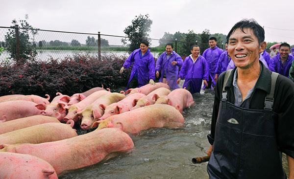 2016年7月5日,安徽六安舒城,饲养户李祖明和西商团体的职员一同渡水赶着生猪。 视觉国家 图