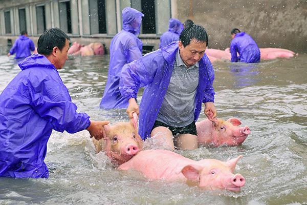 西商团体的职员将生猪从猪舍中牵出,预备检疫卸车。 视觉国家 图