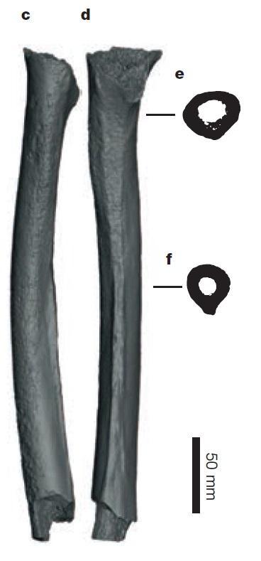 西伯利亚西部4.5万年当代人腿骨。