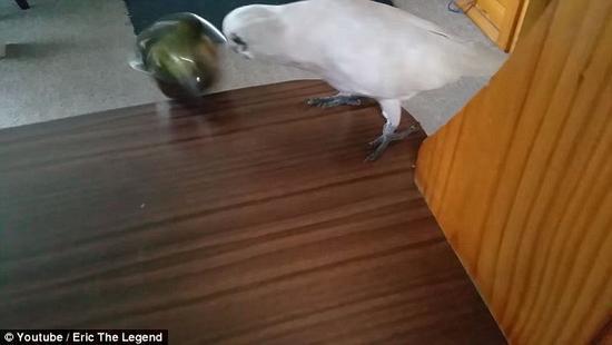 澳大利亚鹦鹉拒食西兰花 恶言咒骂主人