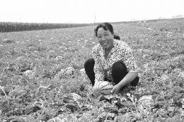 盛夏时节,代县峪口乡沿苏木公路两侧的上千亩地膜西瓜喜获丰收,沿途的选仁、东章、下庄等村的瓜农们在公路两侧搭建起一座座瓜棚,叫卖自家的西瓜。图为瓜农在收获西瓜。