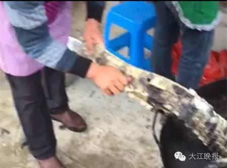 安徽警方证明伴侣圈锅烫扬子鳄视频为真,6人被采纳强迫措施